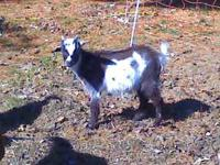 I have a 3 month olf 50% Fainting Goat/ 50% Boar goat