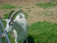 Goat - Scooter - Large - Adult - Male - Barnyard