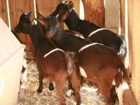 Goat - Scooter, Mack, Sugar, Spice And Pepper - Small -