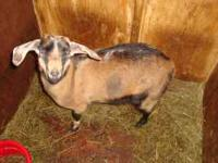 Two Bucklings for sale. 1 Purebred Nubian buckling and