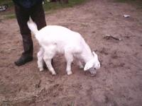 Have 1 baby goat ( doe ) for sale , she is 5 wks old .