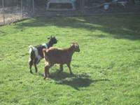 2 6-8 month old goats. Weathers. 45.00 each   Location: