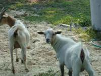 I AM SELLING MY GOATS 2 BABY ORPHAN GOATS 2 MONTHS OLD