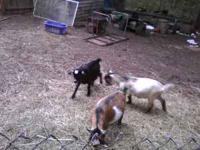 I have several pygmy goats for sale - 1 wether silver /