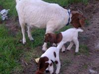 Boer and dairy goats for sale: The first picture which