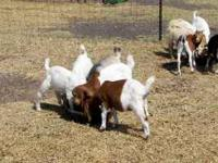 I have 17 little Boer cross kids for sale. There are 4