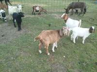 We have fainting goat does for sale some are