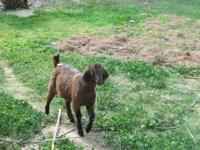 4 WETHERS 4 MONTHS OLD MALE DAIRY GOATS, VERY FRIENDLY,