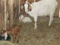 All goats are super friendly, current on worming, CDT,