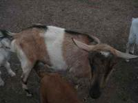 We have 3 goats for sale - a registered Alpine dairy