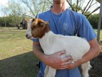 Have 3 fainting goats and 3 part bore goats.....$100.00