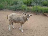 three minniture toggenburg goats for sale. two females