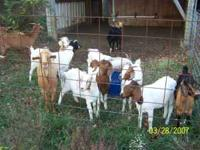 Breed doe goats for sale. Boer and Kinko mix. Breed to