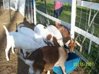for sale goats at good price call tommy  Location: