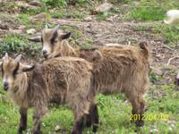 We have 2 three month old pygmy bucks ($50) and one