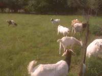 I have several goats for sale..... LaMancha Nanny $125