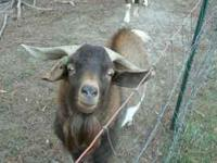 I have 2 Billy goats for sale. They are full grown.