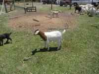 Boer/Kiko cross nannies and billies 100.00 each call