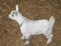 We have 3 Nygerian Dwarf/Pygmy Male Kids For Sale for