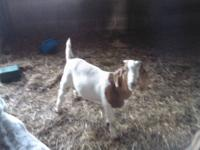 hi my name is andrew brodbeck my mother is saling goats