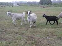 I have a lot of goats fresh from Texas. All are up to