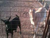 Lamancha goat and a black Nigerian Dwarf goat are for