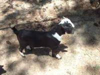 We have 2 male goats for sale, they are 2 months old