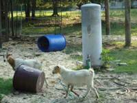 I HAVE 2 BABY ORPHAN GOATS 2 MONTHS OLD VERY CUTE $40