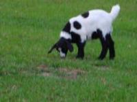 PERCENTAGE BOER GOATS FOR SALE $75.00 and up for