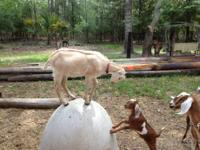 We have many types of goats, and to name a few they can
