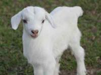 PERCENTAGE BOER ,GOATS FOR SALE $75.00 and up.... Our
