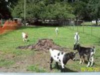 GOATS -- young goats for sale, $60.00 and up. Right now