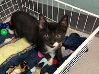 My story I am Godric and as a stunning Tuxedo kitten, I