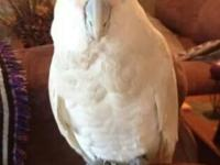 1 years of age goffin cockatoo tame wonderful and