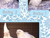 2 goffin cockatoo babies !! :) will be ready around end