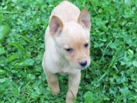 Beautiful Carolina Dog mixed breed pups seek wonderful