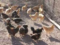 These are the last chicks that I will be hatching this