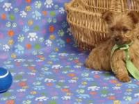 YORKIE Puppies: males and females available - 9wks.