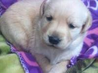 Goldador Hybred (Lab/Golden retriever) puppies