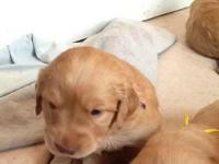 3 Female Goldador puppies available for adoption. Mom