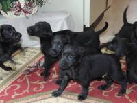These loveable Goldador puppies will be great family