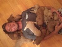 Beautiful Litter of 11 Goldedoodle Puppies! 5girls and