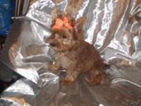 An AKC golden red Yorkie - a very rare color indeed!