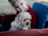 Valuable, fluffy golden Aussie-Yorkie Poo puppies. The