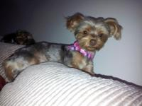 I HAVE A ONE YEARS OF AGE GOLDEN BROWN RARE YORKIE. SHE