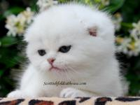 Scottish fold female for sale. Up to date on age