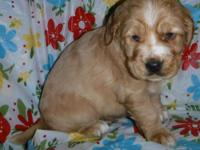 Red Rock is an adorable red merle male, to mature