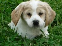 Scotch is an adorable gold & white parti male, to