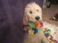 GOLDEN DOODLE MALE BORN 11/18/13 Looking for good