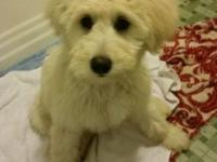 Willow is a cream colored akc golden doodle. She is